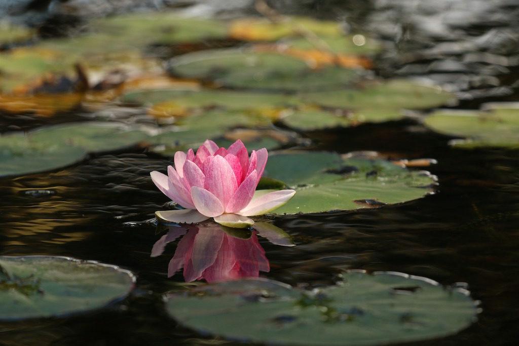 meditation-lotus-flower