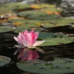 meditation-lotus-flower